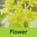 Acer Campestre Field Maple Tree, Height  150-250cm 5-20L Pot,  AGM + EASY TO GROW + TOPIARY **FREE UK MAINLAND DELIVERY + FREE 3 YEAR LTD TREE WARRANTY**