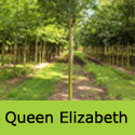 DELIVERED AUGUST 2021 Acer campestre Queen Elizabeth Maple Tree, Height  180-240cm 12-20L Pot,  FAST GROWING + DROUGHT TOLERANT **FREE UK MAINLAND DELIVERY + FREE 3 YEAR LTD TREE WARRANTY**