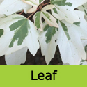 DELIVERED AUGUST 2021 Acer Carnival Variegated Field Maple, Delivered 150-250cm 5-20L Pot, AGM + SMALL TREE + SLOW GROWING + PATIO + WET TOLERANT **FREE UK MAINLAND DELIVERY + FREE 3 YEAR LTD TREE WARRANTY**