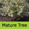 Acer Carnival Variegated Field Maple, Delivered 150-250cm 5-20L Pot, AGM + SMALL TREE + SLOW GROWING + PATIO + WET TOLERANT **FREE UK MAINLAND DELIVERY + FREE 3 YEAR LTD TREE WARRANTY**
