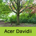 DELIVERED AUGUST 2021 Acer Davidii, Height  150-250cm 5-20L Pot,  ATTRACTIVE BARK + LEAVES  **FREE UK MAINLAND DELIVERY + FREE 3 YEAR LTD TREE WARRANTY**