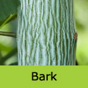 Acer Davidii, Height  150-250cm 5-20L Pot,  ATTRACTIVE BARK + LEAVES  **FREE UK MAINLAND DELIVERY + FREE 3 YEAR LTD TREE WARRANTY**