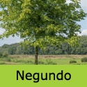 DELIVERED AUGUST 2021 Acer Negundo Ash Leaved Maple Tree, Height 150-250cm 5-20L Pot, FAST GROWING + DROUGHT RESISTANT **FREE UK MAINLAND DELIVERY + FREE 3 YEAR LTD TREE WARRANTY**