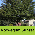 DELIVERED AUGUST 2021 Acer Norwegian Sunset Norway Maple Tree, Height  150-250cm 5-20L Pot,  RED COLOURS + EXPOSED SITE  **FREE UK MAINLAND DELIVERY + FREE 3 YEAR LTD TREE WARRANTY**