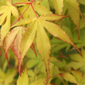 Japanese Maple Tree (Acer palmatum `Katsura`) Ht. 0.5-1.0m in 7-10L Container **PRICE INCLUDES FREE UK MAINLAND DELIVERY**