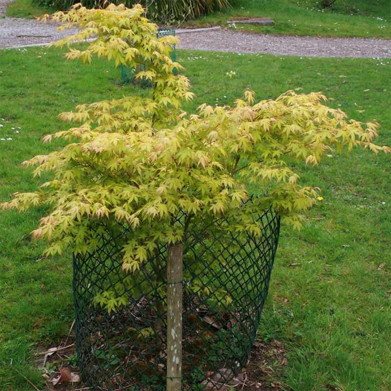 buy japanese maple tree acer palmatum katsura online from. Black Bedroom Furniture Sets. Home Design Ideas
