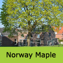 Acer Platanoides Norway Maple Tree, Height  150-250cm 5-20L Pot,  FAST GROWING + AWARD  **FREE UK MAINLAND DELIVERY + FREE 3 YEAR LTD TREE WARRANTY**