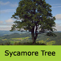 Acer Pseudoplatanus Sycamore Tree, Height  150-250cm 5-20L Pot, COAST + EXPOSED SITES + LARGE SIZE  **FREE UK MAINLAND DELIVERY + FREE 3 YEAR LTD TREE WARRANTY**