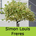 Simon-Louis Freres Sycamore Tree Acer pseudoplatanus Simon Louis Freres, Supplied 1.5 - 2.5 m, 7-12L Pot COASTAL + VARIAGATED LEAVES + WILDLIFE ** FREE UK MAINLAND DELIVERY + FREE 3 YEAR LTD TREE WARRANTY**