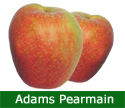 Adams Pearmain Eating Apple Tree (C2) CRISPY + STORES WELL, 2-3 years old, delivered 1-2m tall, 12L pot **FREE UK MAINLAND DELIVERY + FREE 100% TREE WARRANTY**