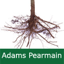 C2 Bare Root Adams Pearmain Eating Apple, 1-2 m Tall, Fruits October, KEEPS WELL + DISEASE RESISTANT + NORTH UK **FREE UK MAINLAND DELIVERY + FREE 100% TREE WARRANTY**