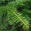 "<font color=""red"">DELIVERED AUGUST 2019</font> Silver Fir Tree (Abies Alba) 10-20cm Trees, WET + DRY + SHADY + EVERGREEN + HONEY FUNGUS RESISTANT  **FREE UK MAINLAND DELIVERY + FREE 100% TREE WARRANTY**"