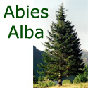 Silver Fir Tree (Abies Alba) 10-20cm Trees, WET + DRY + SHADY + EVERGREEN + HONEY FUNGUS RESISTANT  **FREE UK MAINLAND DELIVERY + FREE 100% TREE WARRANTY**