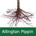 C3 BARE ROOT Allington Pippin, 1-2 m Tall, Eating+Cooking Apple, Fruits October, PINEAPPLE FLAVOUR + JUICING. **FREE UK MAINLAND DELIVERY + FREE 100% TREE WARRANTY**