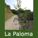 DELIVERED AUGUST 2021 La Paloma Snowy Mespilus Tree (Amelanchier 'La Paloma') Supplied height 150 to 180cm, 2-3 years old   **FREE UK MAINLAND DELIVERY + FREE 100% TREE WARRANTY**