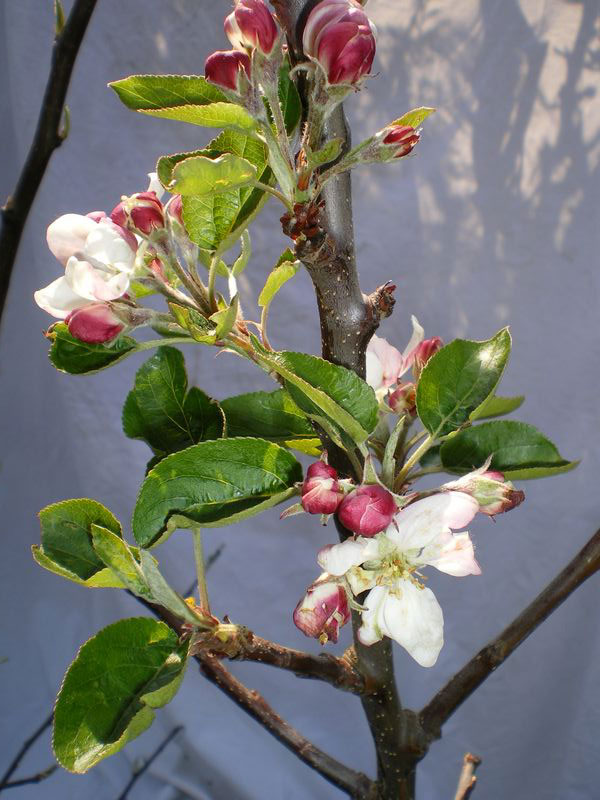 (C3) SELF FERTILE Bare Root Scrumptious Apple Tree  , 2+ yrs, 1.5-2.0m tall + DISEASE RESISTANT + POPULAR + BIG CROP + CONTAINER + NORTH UK + HIGH YIELDS + AWARD  **FREE UK MAINLAND DELIVERY + FREE 100% TREE WARRANTY**