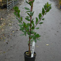 "<font color=""red"">DELIVERED AUGUST 2020</font> Strawberry Tree (Arbutus unedo) COASTAL + CHALKY SOIL TOLERANT, Supplied 90-220cm , 1-3 years old **FREE UK MAINLAND DELIVERY + FREE 100% TREE WARRANTY**"
