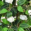 Artificial Camelia Tree in White **FREE UK MAINLAND DELIVERY**
