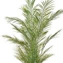 Artificial Palm Tree 'Areca' 180cm Superior Realism + Premium Quality **FREE UK MAINLAND DELIVERY**