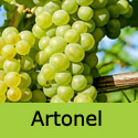 Muscat Artonel grape vine