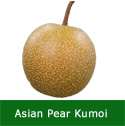 "<font color=""red"">DELIVERED AUGUST 2020</font> Kumoi Asian Pear Tree, 1.2-1.8m tall, Fruit Stores Well, Self Fertile, 2-3 years Old **FREE UK MAINLAND DELIVERY + FREE 100% TREE WARRANTY**"