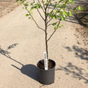 "<font color=""red"">DELIVERED AUGUST 2020</font> Shinseiki Asian Pear Tree, 1.0-1.80m tall, Fruit Stores Well, Self Fertile **FREE UK MAINLAND DELIVERY + FREE 100% TREE WARRANTY**"