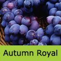 Autumn Royal Grape Vine, Eating, Red/Black, Outdoor, FIRM + THIN SKIN + SEEDLESS + JUICY  **FREE UK MAINLAND DELIVERY + FREE 100% TREE WARRANTY**