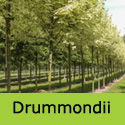 Bare Root Acer Platanoides Drummondii Variegated Norway Maple **FREE DELIVERY + 3 YEAR WARRANTY**
