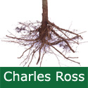 C3 (PARTIALLY SELF FERTILE) BARE ROOT Charles Ross Eating/Cooking Apple, 1-2m Tall, Fruits September, HARDY+ NORTH UK + JUICE + CONTAINER + DISEASE RESISTANT **FREE UK MAINLAND DELIVERY + FREE 100% TREE WARRANTY**