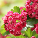 Bare Root Hawthorn 'Paul's Scarlet' (Crataegus laevigata 'Paul's Scarlet') Supplied 125 -200cm ***PRICE INCLUDES FREE UK MAINLAND DELIVERY + 3 YEAR TREE WARRANTY***