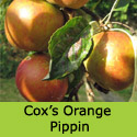 Bare Root Duo Apple Tree Coxs Orange Pippin + Golden Delicious