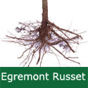C2 BARE ROOT Egremont Russet Eating Apple, 1-2m tall, Fruits October, VERY HARDY, FIRM + NUTTY FLAVOUR + JUICING + GOOD POLLINATOR **FREE UK MAINLAND DELIVERY + FREE 100% TREE WARRANTY**