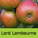 Bare Root Lord Lambourne Apple Tree