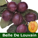 C3 (SELF FERTILE) BARE ROOT Eating/Cooking Belle De Louvain Plum Tree 1-2m tall, Fruits Aug, LARGE FRUIT + FROST RESISTANT **FREE UK MAINLAND DELIVERY + FREE 100% TREE WARRANTY**