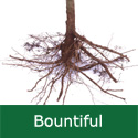 C2 BARE ROOT Bountiful Cooking + Eating Apple, 1-2 m Tall, Fruits September, DISEASE RESISTANT + CRISP + LARGE CROP + NORTH UK **FREE UK MAINLAND DELIVERY + FREE 100% TREE WARRANTY**