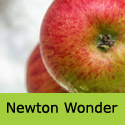 C5 Bare Root Newton Wonder Cooking and Eating Apple, AWARD + LOW DISEASE + JUICING + LARGE CROP   **FREE UK MAINLAND DELIVERY + FREE 100% TREE WARRANTY**