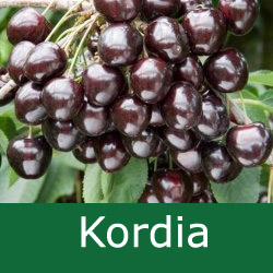 E Bare Root Kordia Cherry Tree, 1-2 metres tall, 1-2 years old,  EATING + FRUIT IN JULY + BIG CROPS + LARGE FRUITS + DISEASE RESISTANT **FREE UK MAINLAND DELIVERY + FREE 100% TREE WARRANTY**