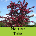 Bare Root Crab Apple Toringo Scarlett (4)  Supplied 125+, DISEASE RESISTANT + ATTRACTIVE + FRAGRANT **FREE UK MAINLAND DELIVERY + FREE 100% TREE WARRANTY**