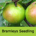 C3 Bare Root Bramleys Seedling Cooking Apple Tree, TRIPLOID + BEST COOKING APPLE + AWARD **FREE UK MAINLAND DELIVERY + FREE 100% TREE WARRANTY**