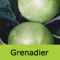 C3 Bare Root Grenadier, COOKING + LARGE EARLY APPLES + EASY TO GROW + NORTH UK + COMPACT **FREE UK MAINLAND DELIVERY + FREE 100% TREE WARRANTY**