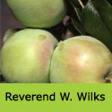 Bare root Reverend W Wilks cooking apple tree