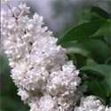 Beauty Of Moscow Syringa Lilac Tree / shrub  Supplied 50-120cm in 7-12L pots, 2-3 Years old,  HEAVY BLOOMER + STRONG SCENT **FREE UK MAINLAND DELIVERY + FREE 3 YEAR LIMITED WARRANTY**