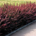 Barberry Hedging (Berberis thunbergii) 15-30cm hedging shrubs THORNY + BIRD FOOD + ANTI-MOTHER IN-LAW **FREE UK MAINLAND DELIVERY + FREE 100% TREE WARRANTY**