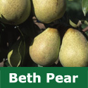 C3 BARE ROOT Beth Pear, Eating, 1-2m Tall, Fruits August, FRUITS FASTER + SWEET + GOOD HARVEST **FREE UK MAINLAND DELIVERY + FREE 100% TREE WARRANTY**