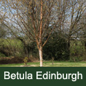 Edinburgh Birch Tree (Betula utilis 'Edinburgh') Supplied height 1.5 to 2.4 metres in a 10-15 litre container**FREE UK MAINLAND DELIVERY + FREE 100% TREE WARRANTY**