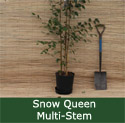 Betula Snow Queen As Supplied
