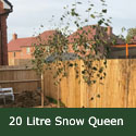 Snow Queen Birch Tree (Betula jacquemontii 'Snow Queen') Supplied height 1.2 - 2.6m, 2-5 years old, Supplied in 10-20 Litre Pots **FREE UK MAINLAND DELIVERY + FREE 100% TREE WARRANTY**