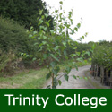 <font color=&quot;red&quot;>DELIVERED AUGUST 2018</font> Trinity College Birch Tree (Betula utilis 'Trinity College') Supplied height 1.5 to 2.4 metres in a 10-15 litre container**FREE UK MAINLAND DELIVERY + FREE 100% TREE WARRANTY**