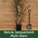 West Himalayan Birch Tree (Betula utilis var. jacquemontii) Supplied 5-20L pot, 1.20- 260cm, 2+ years old,  POPULAR + VERY WHITE BARK + EASY TO GROW + STRESS RELIEF  **FREE UK MAINLAND DELIVERY + FREE 100% TREE WARRANTY**