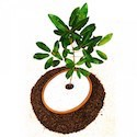 SPIRITREE Biodegradable Urn for Adult or Child Ashes + 12 Tree Saplings *** FREE UK MAINLAND DELIVERY ***